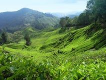 Valle del té Imágenes de archivo libres de regalías
