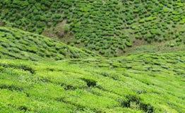 Valle del tè Fotografia Stock