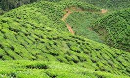 Valle del te de Bharat Imágenes de archivo libres de regalías