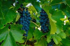 Valle del vino Fotografie Stock Libere da Diritti