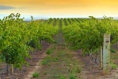 Valle del vino al tramonto Immagini Stock