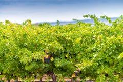 Valle del vino dell'Australia Fotografia Stock Libera da Diritti