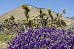 Valle dell'albero di Joshua a spring-4-28_4458 Immagini Stock