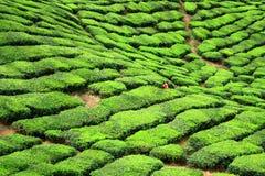 Valle dell'azienda agricola del tè in altopiani di Cameron fotografia stock libera da diritti