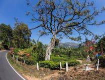 Valle della piantagione di tè Immagini Stock Libere da Diritti