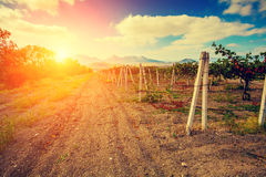 Valle della vigna alla luce di tramonto Immagini Stock Libere da Diritti