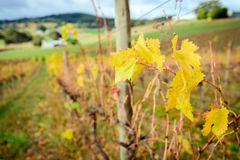 Valle di Autumn Wine Immagine Stock