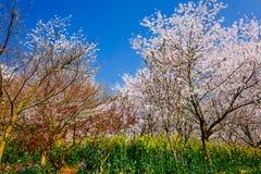 Valle di Cherry Blossom Immagini Stock Libere da Diritti