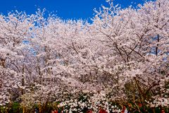 Valle di Cherry Blossom, wuxi, porcellana Fotografia Stock Libera da Diritti