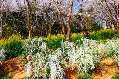 Valle di Cherry Blossom, wuxi, porcellana Immagini Stock
