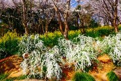 Valle di Cherry Blossom, wuxi, porcellana Immagine Stock Libera da Diritti