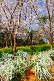 Valle di Cherry Blossom, wuxi, porcellana Fotografie Stock
