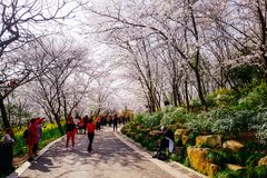 Valle di Cherry Blossom, wuxi, porcellana Immagine Stock