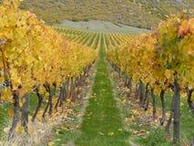 Valle di Gibbston della vigna di autunno, Nuova Zelanda Fotografia Stock