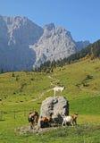 Valle di Karwendel con il gioco delle capre, alpi austriache Fotografia Stock