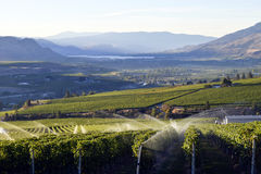 Valle di Okanagan della cantina della vigna dello spruzzatore di irrigazione Fotografia Stock Libera da Diritti