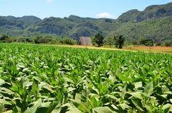 Valle di Vinales, campo di tabacco, Cuba Fotografia Stock