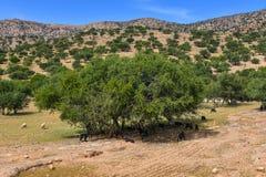 Valle Marocco Africa degli alberi dell'argania spinosa Fotografia Stock