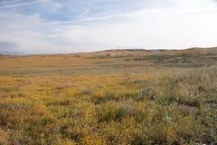 Valle Poppy Reserve, California, los E.E.U.U. del antílope Fotografía de archivo