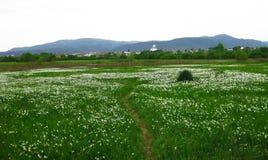 Valle selvaggia del narciso, Carpathians fotografia stock