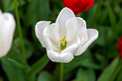 Valle Tulip Festival de Scagit en Washington Fotografía de archivo