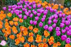 Valle Tulip Festival di Scagit a Washington immagine stock