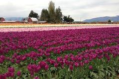 Valle Tulip Festival, Washington, Seattle di Skagit Fotografie Stock Libere da Diritti