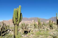 Valle verde alta del cactus nel Sudamerica Fotografia Stock