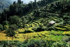 Valle verde con i terrazzi del riso, circuito di Annapurna, Nepal Immagine Stock Libera da Diritti