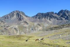 Valle y alpacas de las montañas de los Andes Foto de archivo libre de regalías