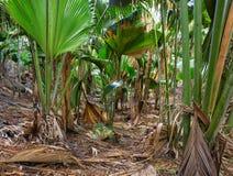 Vallee de Mai自然保护谷,普拉兰岛,塞舌尔群岛海岛  免版税库存图片