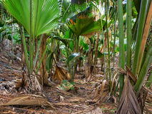 Vallee de Mai Nature Reserve May Valley, island of Praslin, Seychelles.  royalty free stock image