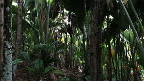 Vallee De Mai palm forest in Praslin. Vallee de Mai Nature Reserve in Praslin. Seychelles stock video footage
