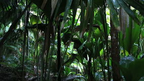 Vallee De Mai palm forest in Praslin. Vallee de Mai Nature Reserve in Praslin. Seychelles stock footage