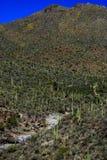 Vallei van Saguaros Stock Fotografie