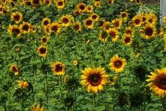 Vallei van zonnebloem royalty-vrije stock foto's