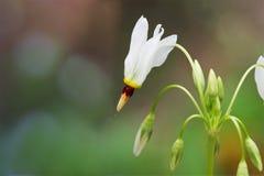 Vallend ster Wildflower Royalty-vrije Stock Afbeeldingen