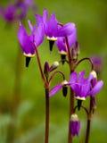 Vallend sterren - Oregon Wildflowers Royalty-vrije Stock Afbeeldingen