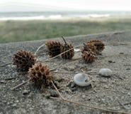 Vallend weinig kegelpijnboom en witte shell op het strand Stock Foto