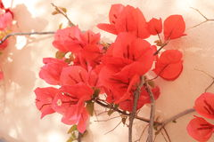Valletta Red Flowers. Valletta Malta red flowers on the wall stock photography