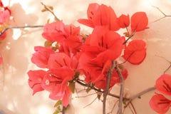 Valletta-Rot-Blumen Stockfotografie