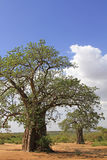 Valley of baobabs royalty free stock images