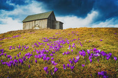 Valley covered by a carpet of crocus. Carpathian mountain valley covered by a carpet of beautiful flowers crocus, or saffron. Low dramatic clouds in a sky Royalty Free Stock Photo