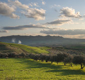Valley cultivated with olive trees at sunset Royalty Free Stock Image