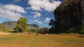 Valley de Vinales,Cuba. stock footage