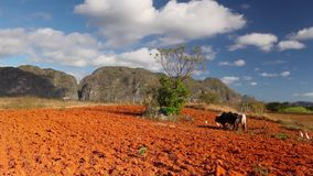 Valley de Vinales,Cuba. Famous Cuba farmland tobacco area, Valley de Vinales, Pinar del Rio, Cuba stock video