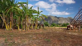 Valley de Vinales, Cuba. Famous Cuba farmland tobacco area, Valley de Vinales, Pinar del Rio, Cuba stock video footage