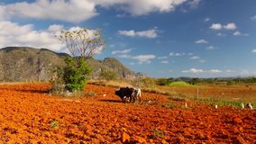 Valley de Vinales, Pinar del Rio, Cuba. Famous Cuba farmland tobacco area, Valley de Vinales, Pinar del Rio, Cuba stock video footage