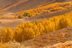 A valley filled with golden aspen trees Royalty Free Stock Images