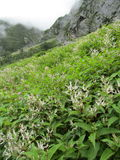 Valley of Flowers. Himalayas. This is valley of miles and miles of flowers. It is a tiring but worth it trek and an unusual gift of nature Stock Photo